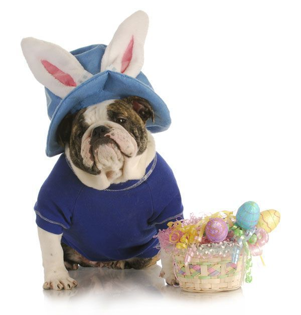 Easter Bulldog